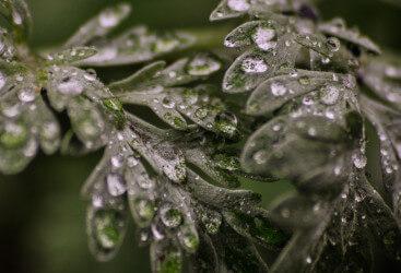 Blätter von Wermut mit Regentropfen
