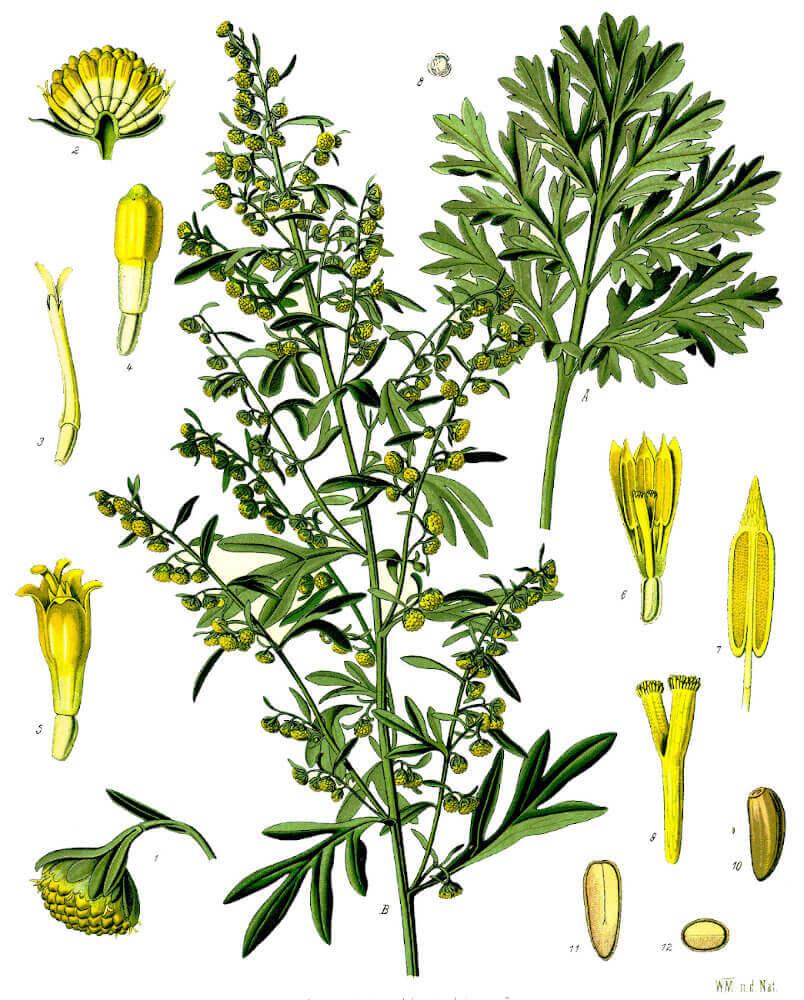 gelbgruene Zeichnung vom Wermutkraut Artemisia absinthium