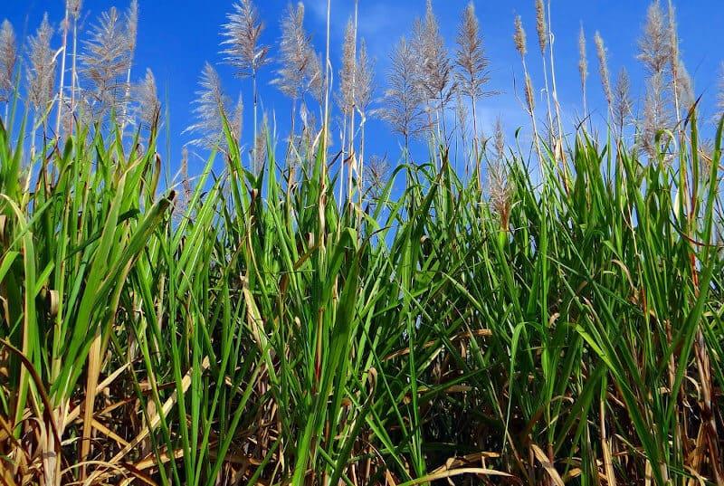 grünes Zuckerrohrfeld