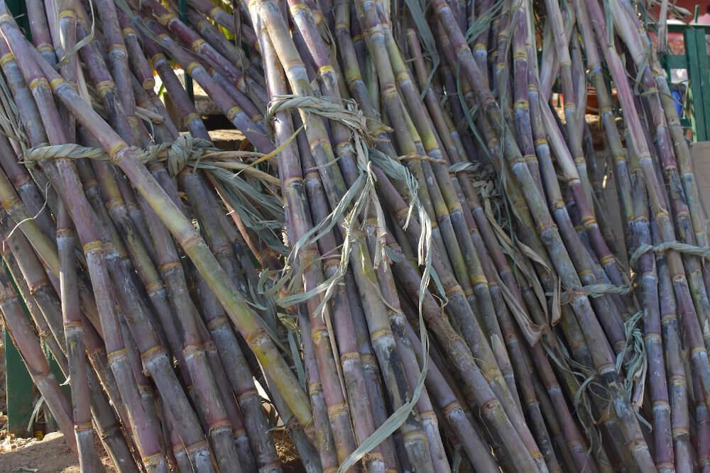 geernteter Zuckerrohr in Bündeln aufgestellt