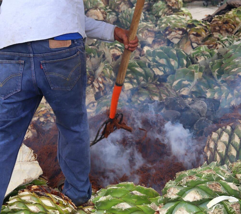 Agavenpflanzen werden geernet und in einem Erdofen gebacken