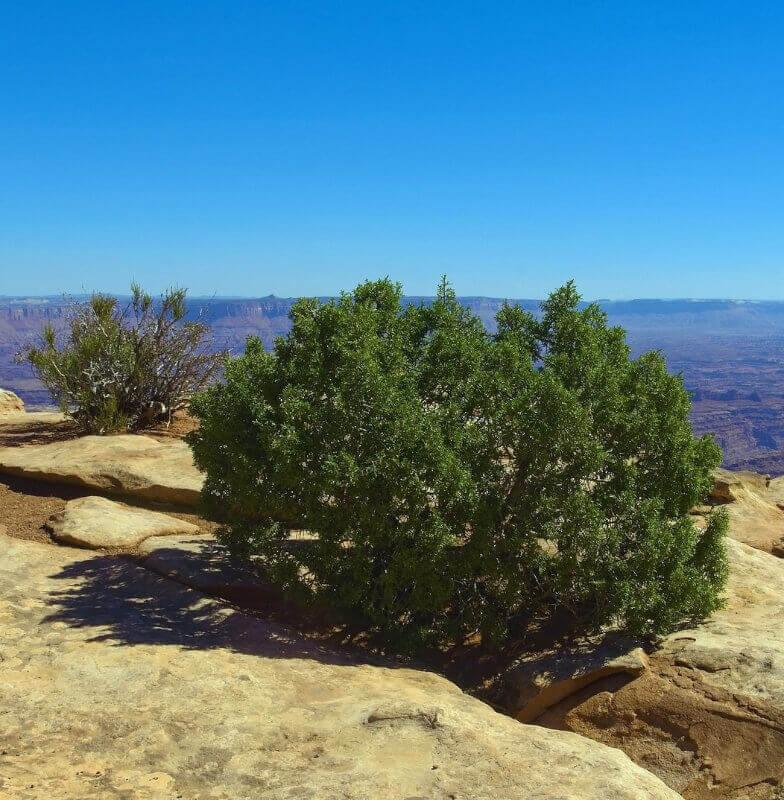 Wacholderstrauch auf einem steinigen Hügel