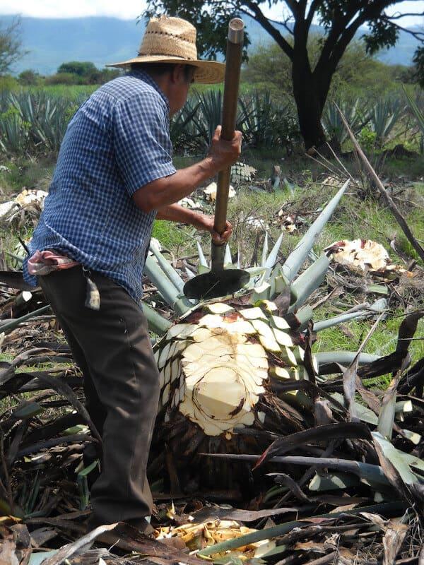 ein Mann schneidet die Blätter von der Agavenfrucht ab