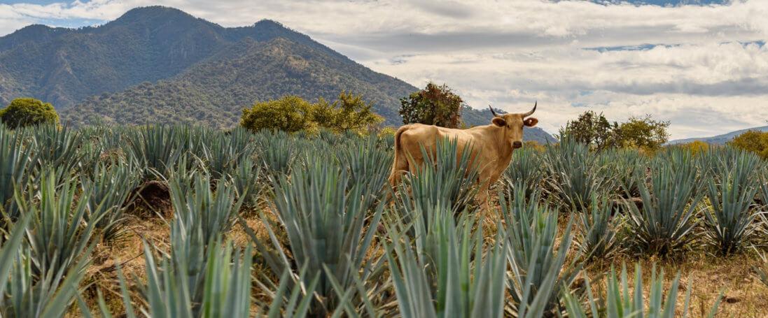 eine kuh steht in Mexiko in einer Agavenplantage