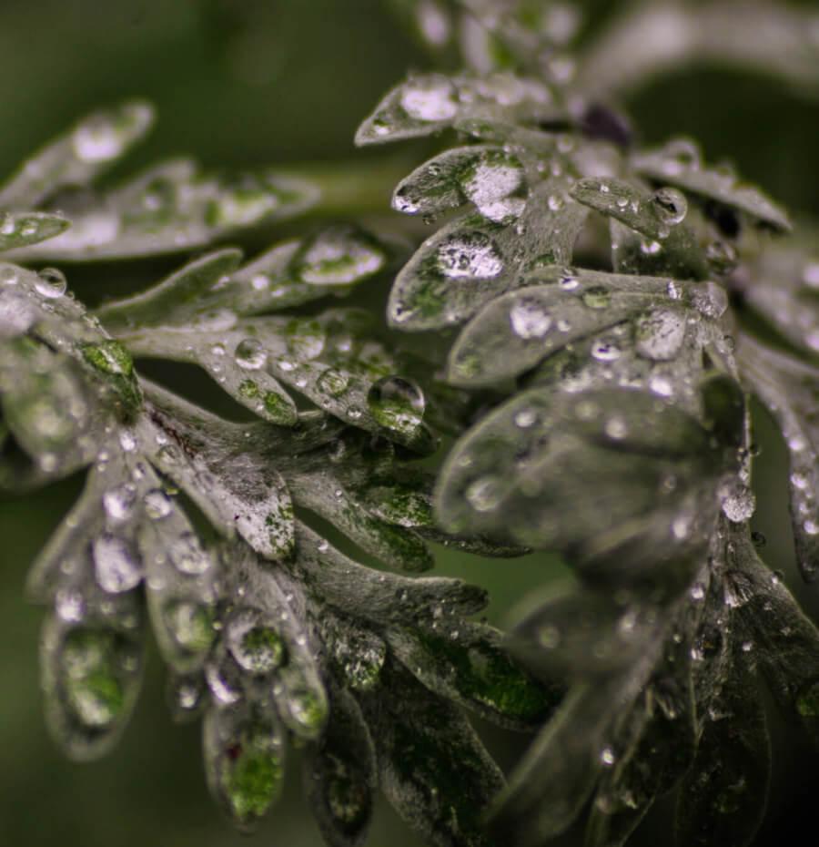 Wermutkraut mit Regentropfen