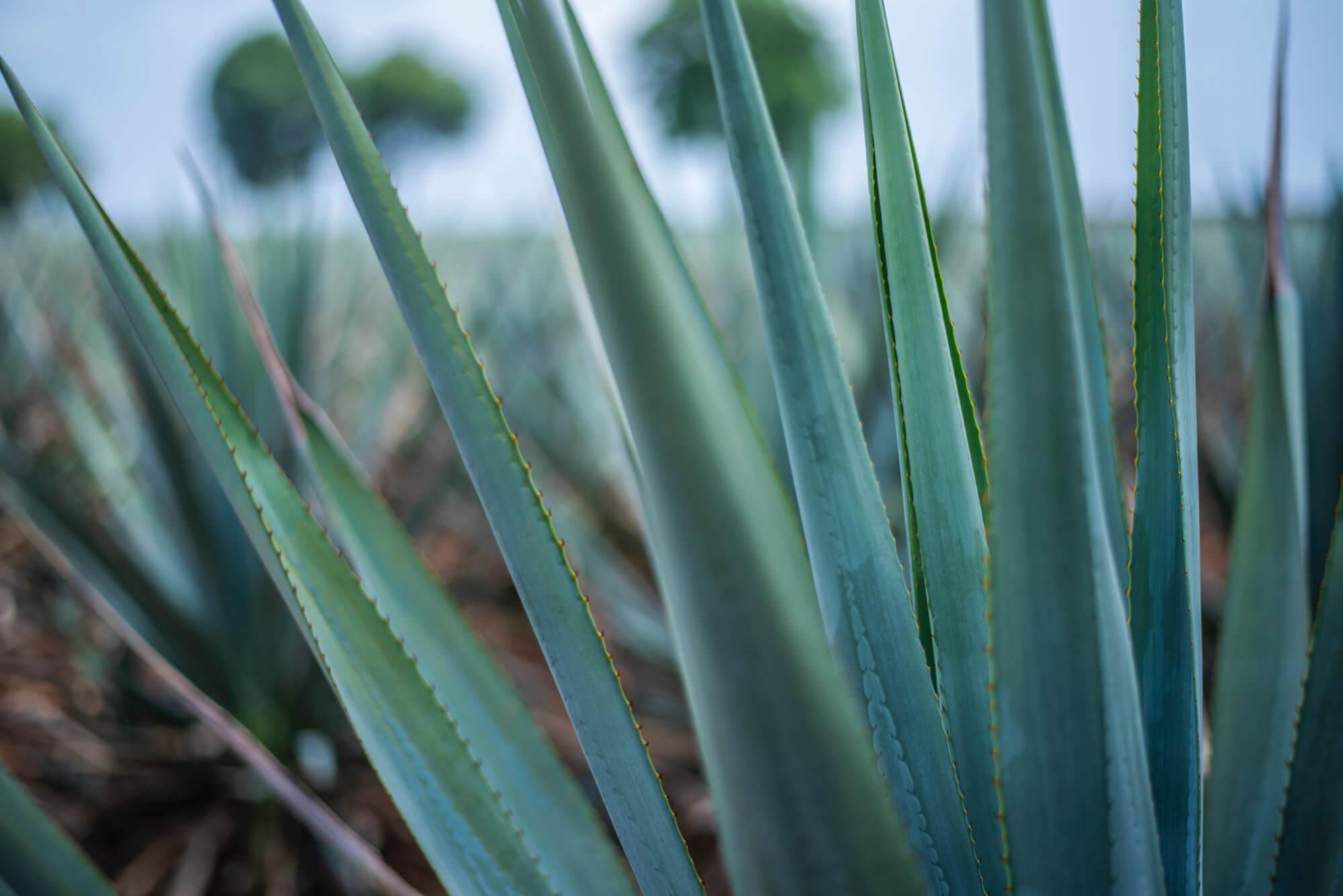 Blaue Agave für Tequila